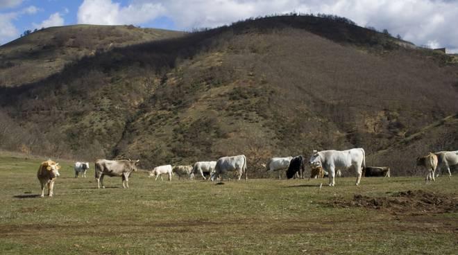 Vacche al pascolo dove dovrebbe sorgere il Pozzo Pergola1