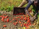 Migrante nei campi di pomodori