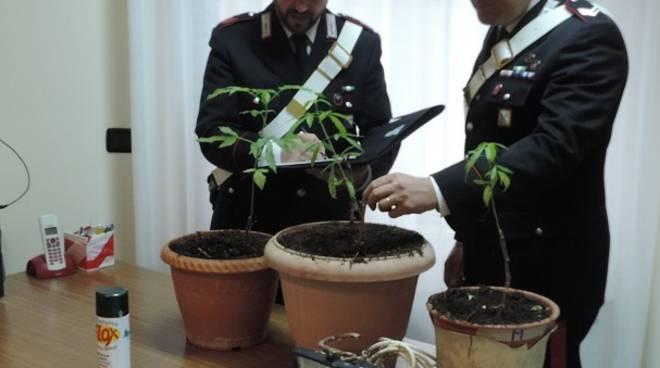 Carabinieri di Stigliano con piante di marijuana