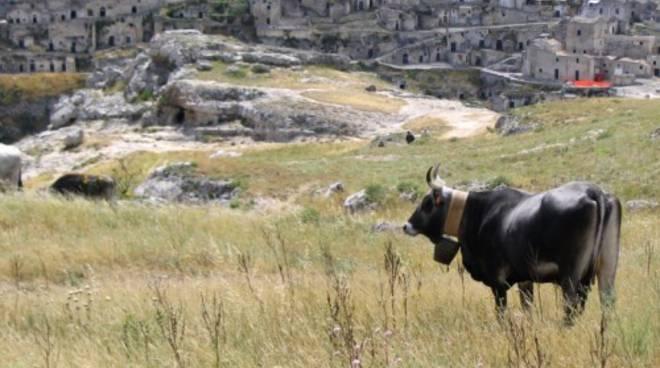 Matera con mucca