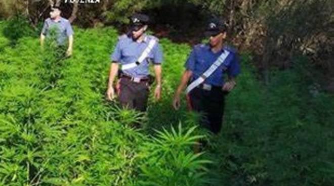 Piantagione di cannabis