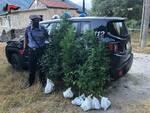 Piante di cannabis sequestrate dai carabinieri