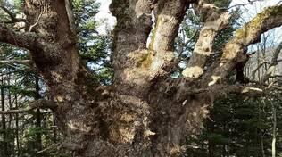 Castelmezzano, bosco e grande quercia