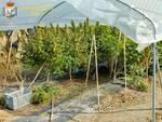 Guardia di Finanza sequestro piantagione cannabis